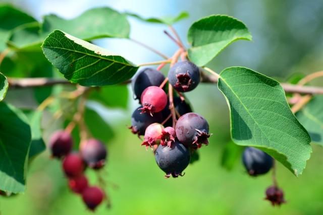 saskatoon-berry-bush